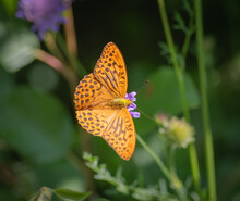 The Silver-washed Fritillary Butterfly On Flower Of Field Scabious