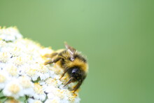 A Bumblebee Covered With Polle...