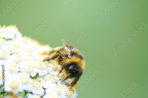 Canvastavla a bumblebee covered with pollen collects nectar and pollinates the flowers