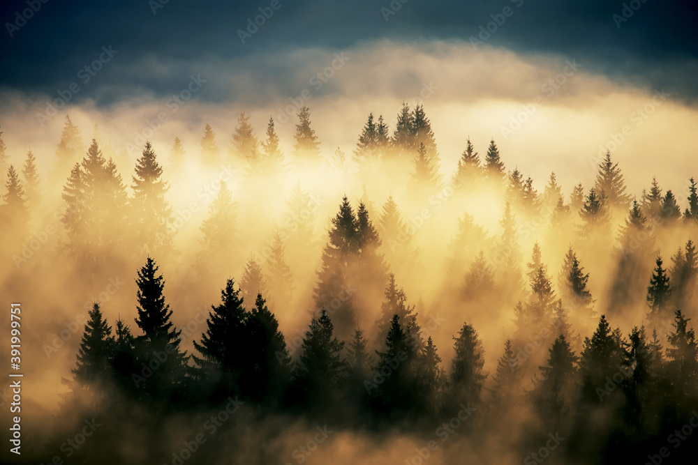 Fototapeta Foggy landscape with fir forest. Vintage style. Extravaganza of light among the majestic firs.