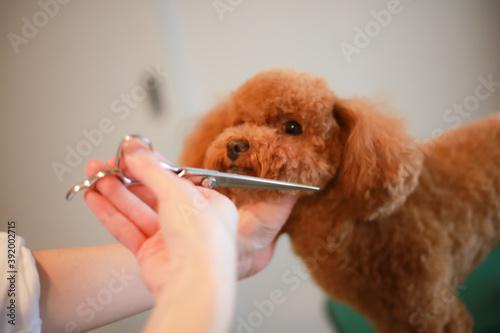 小型犬のトリミング © yamasan