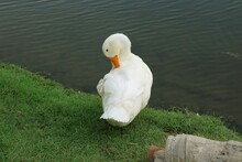 A White Duck Preening Itself On Grass Near Pond Pond Or Lake.  Animal And Wildlife Concept.