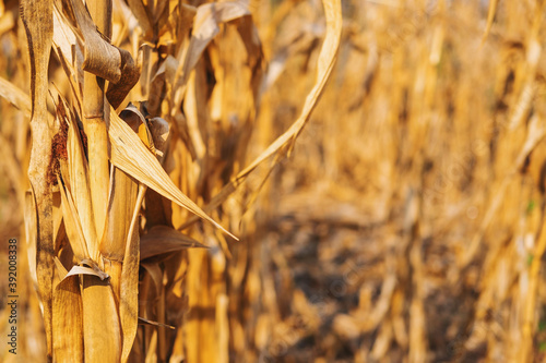 .Dry corn plant background And dry corn fields Fotobehang