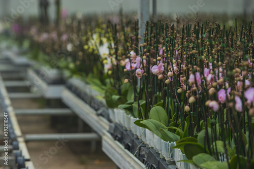 Big orchid flower plantation where orchids are grown on a large scale Canvas Print