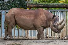 Portrait Of A Large Rhino
