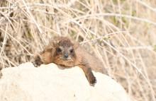 Rock Hyrax, Found In The Israeli Desert Near The Dead Sea