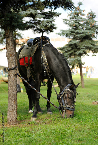 Photo Horse in cavalry trappings tied to the tree and grazing on the lawn