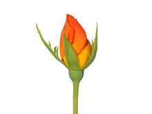 Orange Yellow Rosebud Isolated On White