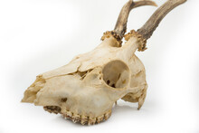 Deer Skull With Teeth On A White Background