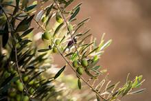 Olive Tree Branch In Morocco