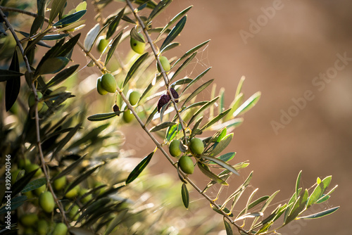 Olive tree branch in Morocco