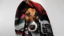 Portrait Of A Fox Terrier Dog Covered In Blanket.
