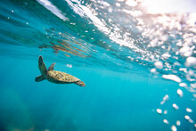Sea Turtle Swimming Beneath Th...