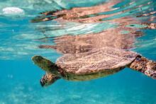 Sea Turtle Floats At The Surfa...