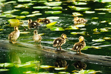 Mallard Ducklings Standing Together On A Log Surrounded By Lily Pads