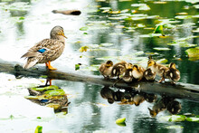 A Family Of Ducks Resting On A Log In Lake Washington