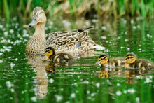 Side View Of A Female Mallard And Three Young Ducklings Swimming