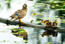 A Mother Duck And Her Ducklings Standing On A Log In A Pond