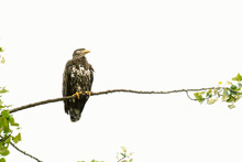 View From Below Of An Immature Bald Eagle Resting On A Tree Branch