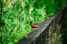 Side View Of A Robin Bird On A...