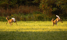 Two White-tailed Deer Flee Thr...