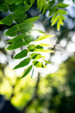 Sunlight Through Green Tree Leaves With Shallow Depth Of Field