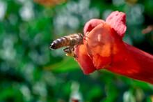 Honey Bee Flies By The Red Tek...