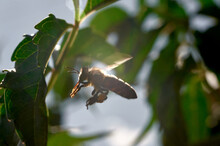 A Honey Bee In Flight Near A G...