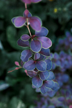 Purple Leaves Of Barberry Tunberg, Bush Branch