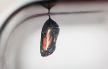 Close Up Of The Translucent Chrysalis Of A Monarch Butterfly.