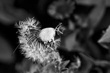 Flower Of A Dandelion On A Bla...