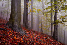 Beech Forest In Mala Fatra Nat...