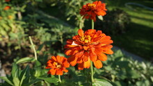 Three Orange Zinnia Flowers Lined With Green Leaves Give A Beautiful Impression Of A Park In The Middle Of The City.