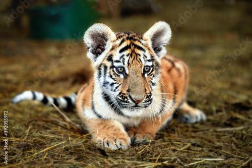 Fotografia Portrait of a beautiful little tiger cub at the zoo, close up