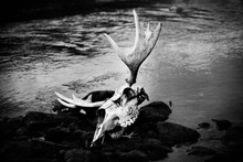 Moose Skull Lying On Rocks In A River