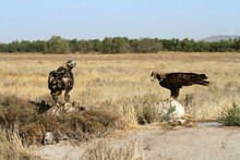 Spanish Imperial Eagle Male  And Five Years Old Female