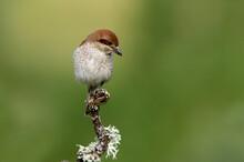 Red-backed Shrike Female In Th...