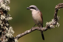 Red-backed Shrike Male In Thei...