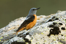 Rufous-tailed Rock Thrush Male On A Rock With The First Light Of Day