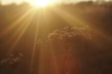Dry Wild Plant In Autumn At Sunset