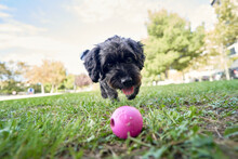 Dog Playing With A Pink Ball