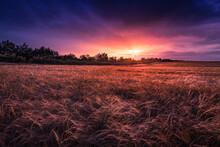 Fields Of Gold. Barley Field