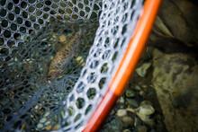 Fly Fishing Trout In Net On Sn...