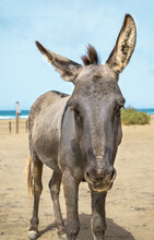 Donkey On The Beach Of Cofete In Fuerteventura, Canary Island On A Summer Day.