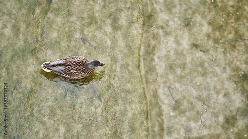 Luftbildaufnahme einer Ente im Wasser an der deutschen Ostseeküste bei Bansin
