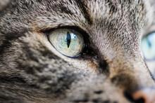 Gray Striped Cat, Closeup Deta...