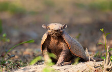 Close Up Of A Six-banded Armadillo In South Pantanal, Brazil