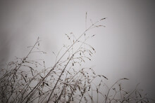Dewy Grass In The Fog, Misty A...