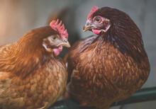 The Rhode Island Red Chicken Portrait.