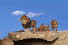 Three Adult Lions On A Cliff R...